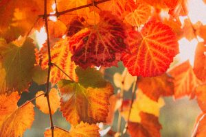 Bright Fall colours on leaves with sun shining through at sunset in Hawke's Bay, New Zealand